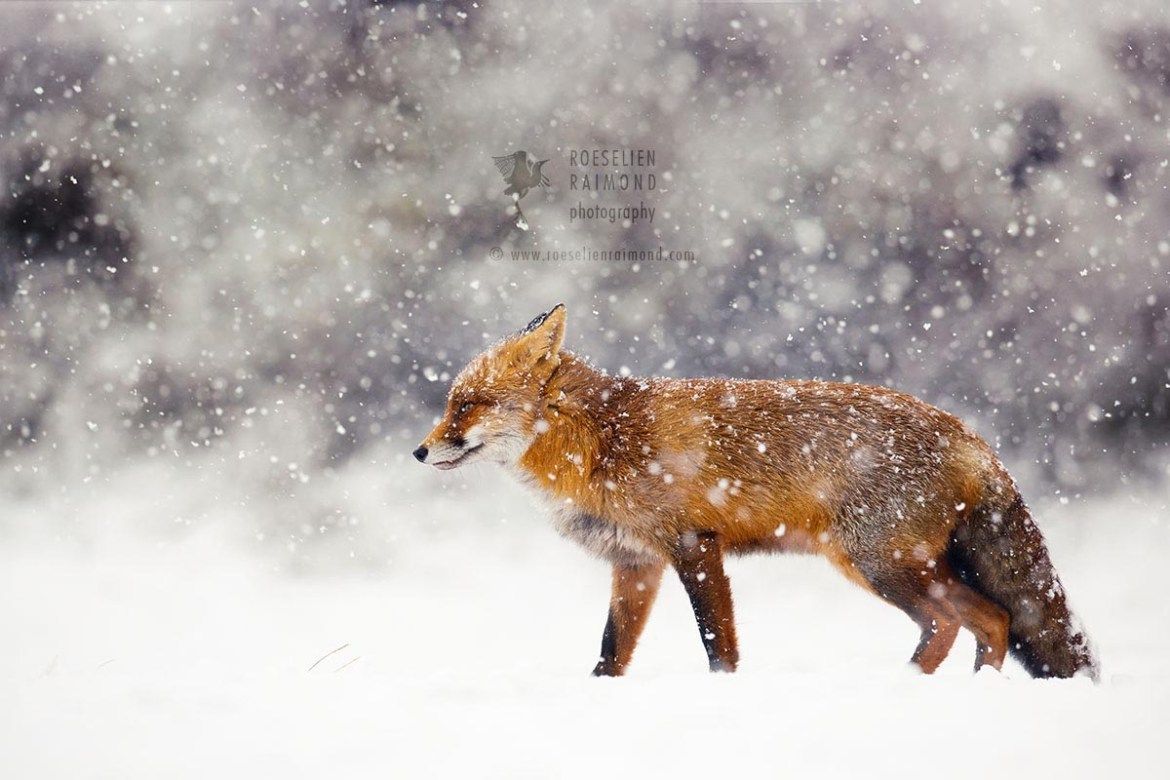 Red fox in a blizzard