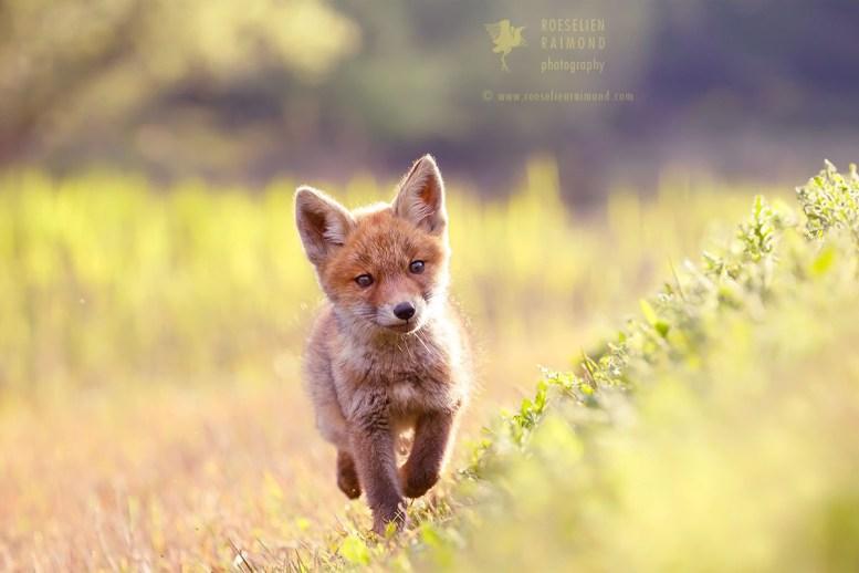 Curious Baby Fox