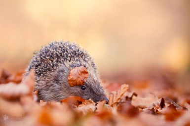 The Hedgehog and the Beech Leaf