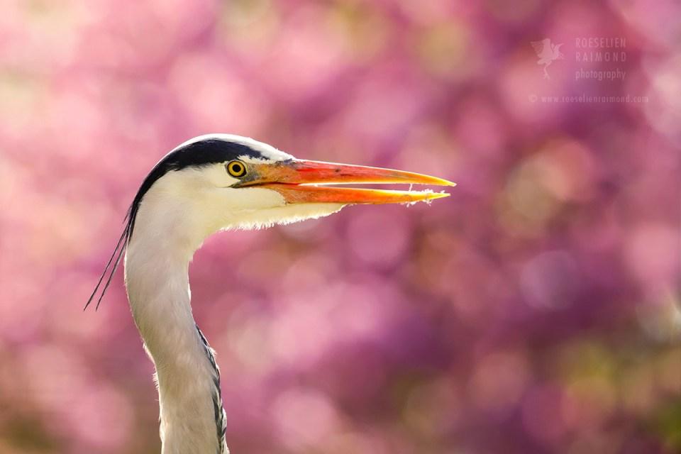 Heron & cherry blossom