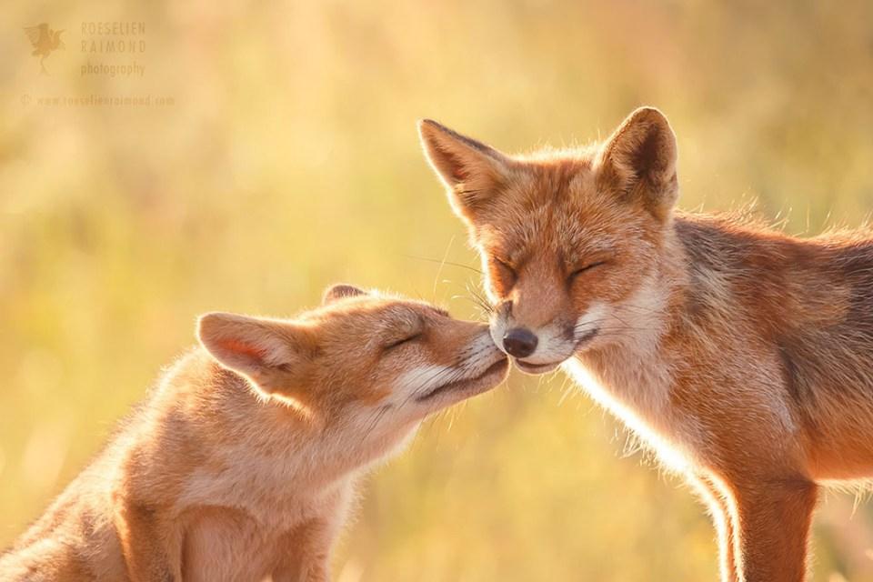 kiss love fox