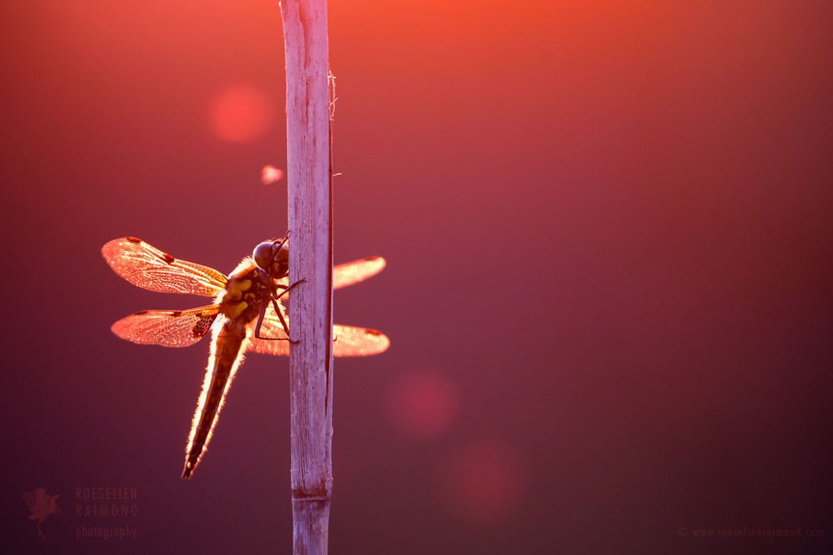dragonflfly in summer light