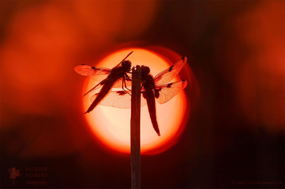 dragonflies silhouttes