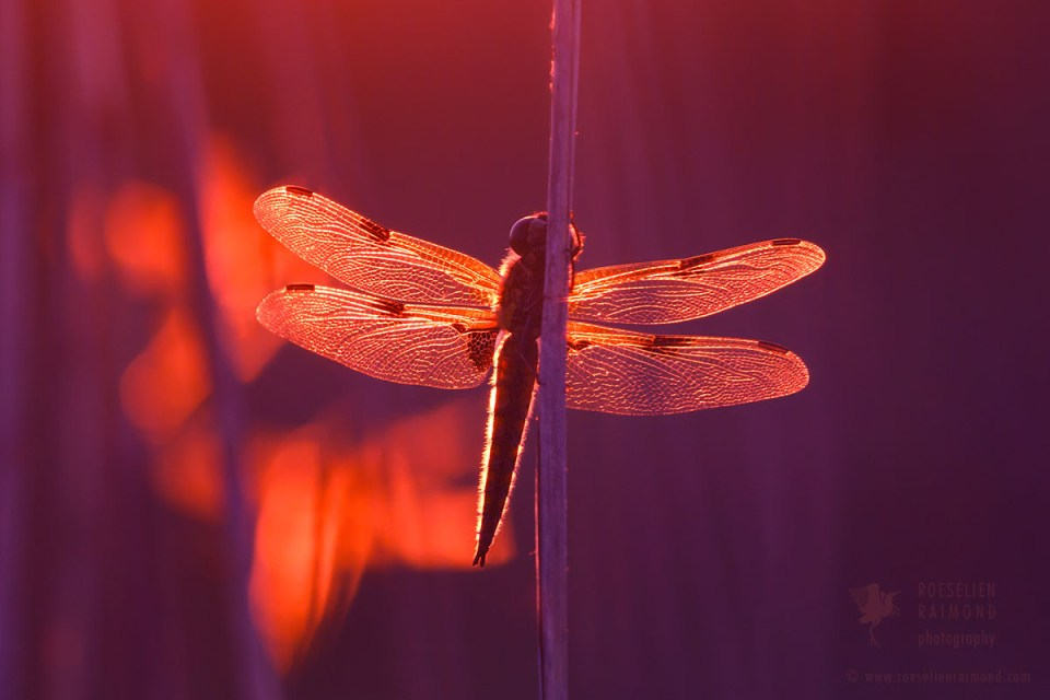 sunset dragonfly