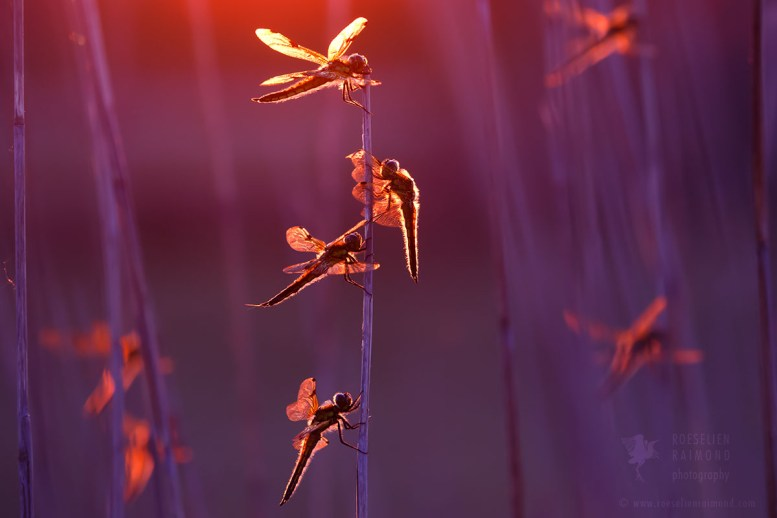 dragonflies in back-light
