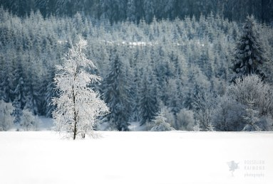 hoar frost forest and tree