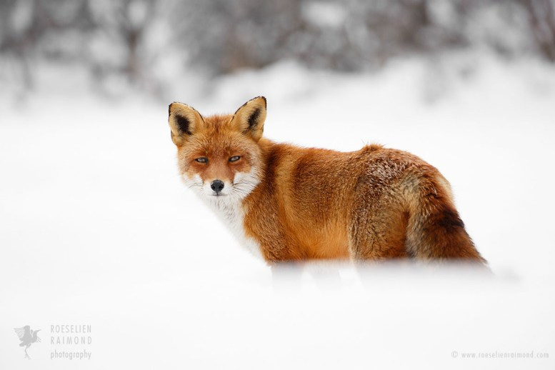 Red fox in the snow looking at the photographer