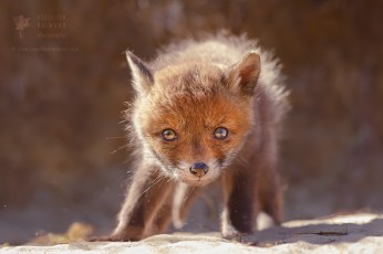 Red Fox Baby With Lots of Nest Hair