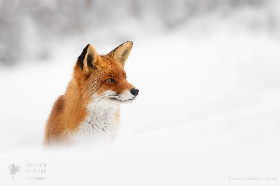 Portrait of a red fox in the snow