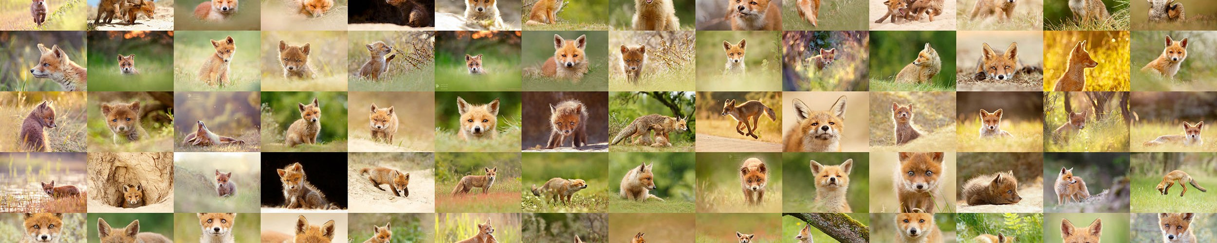 young baby foxes