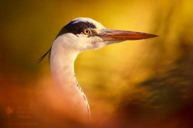 Blue heron at sunset