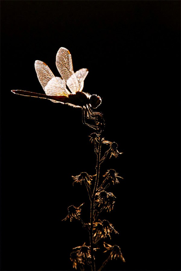 Dragonfly in back-light