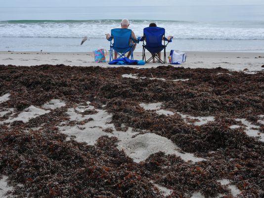 Brevard Seaweed Bloom May Be a Growing Problem - Roffs
