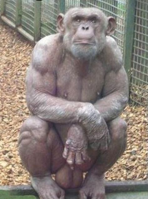 Image result for hairless chimpanzee