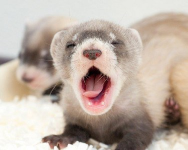 tired.ferret