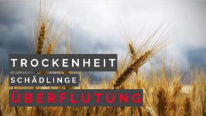Explodiert der Weizenpreis? | Feldrundgang Weizen & Raps
