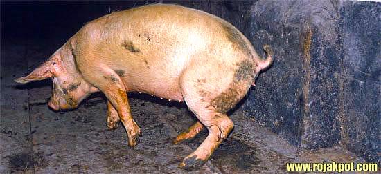 12 Scientific Reasons For Declaring Pigs Haram Debunked
