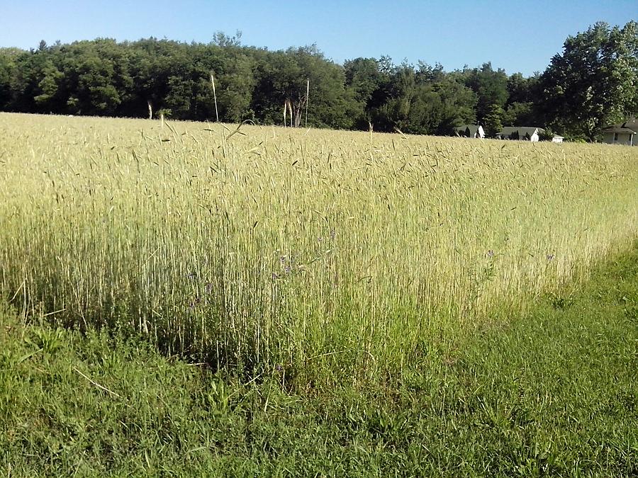 Winter wheat 3' tall