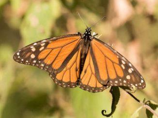 José Andrés dedicates week at Oyamel to monarch butterfly