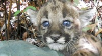 Florida Panther Population Estimated to Exceed Previous Years