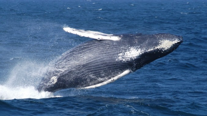 New 'sister sanctuary' agreement protects whales New England Caribbean