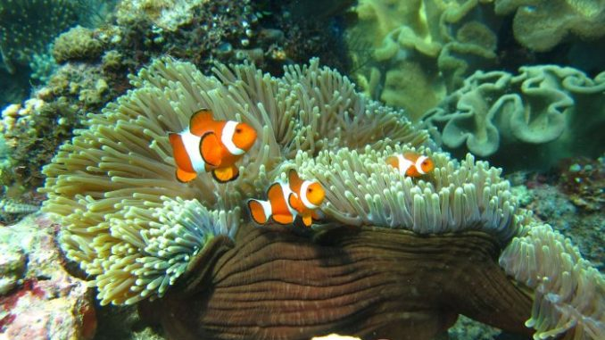 hope for reef fish living in a high CO2 world