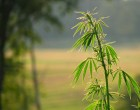 hemp_phytoremediation