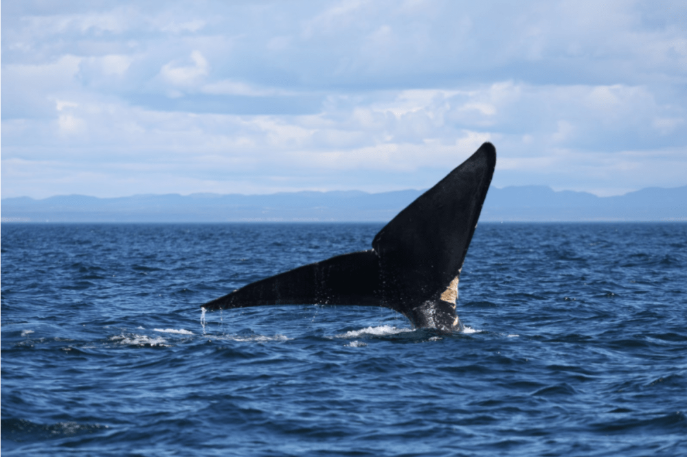 medium resolution of right whale fluke protruding out of ocean surface as it dives the north atlantic