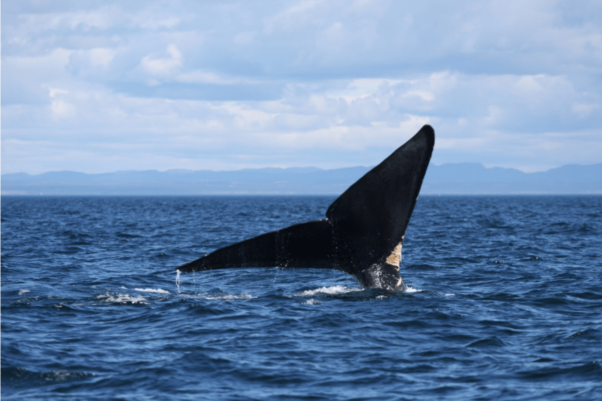 hight resolution of right whale fluke protruding out of ocean surface as it dives the north atlantic