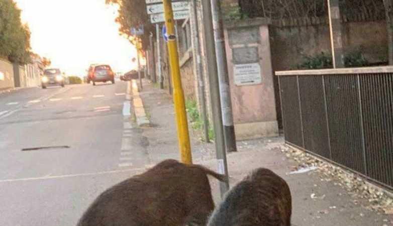 Roma, la sindaca Raggi denuncia la Regione Lazio per il mancato controllo sui cinghiali.
