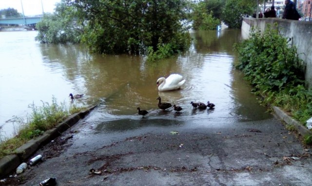 Cygne et canards sur la Seine Alfortville