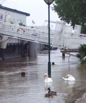 Cygnes sur la Seine à Paris