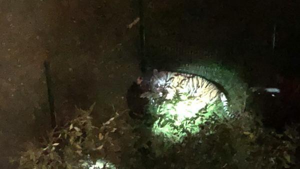 Tigre échappé du cirque Bormann abattu dans Paris