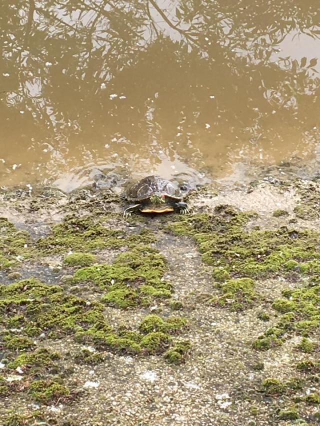 Tortue de Floride dans la Seine