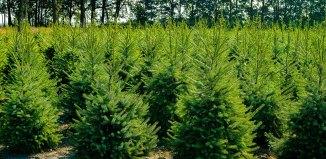 Tipologie di alberi di Natale