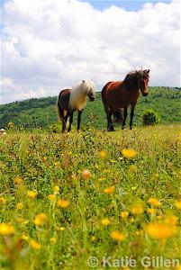 grayson highlands state park ponies, grayson ponies