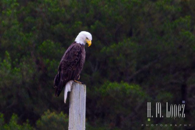 bald eagle memorial day h.m. lopez photograph