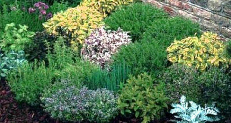 delle erbe aromatiche  dai giardini dalle ville e dalle vigne  Romolo aMAREa Bordighera