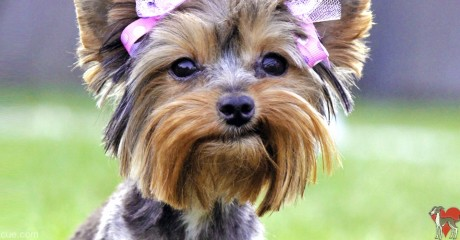 Teacup Yorkie Archives ROMP Italian Greyhound Rescue