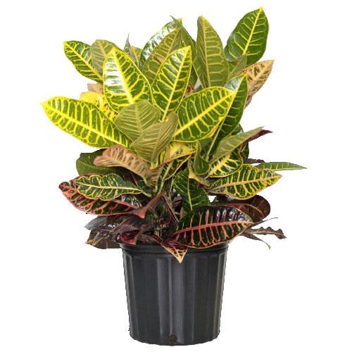 Plants  Croton Petra Bush  RONA
