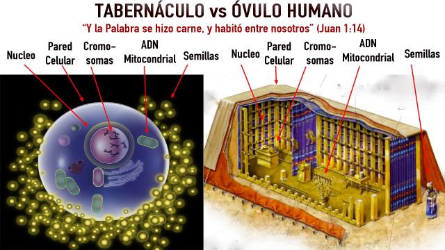 tabernaculo-vs-ovulo