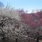 紅白の梅がきれい