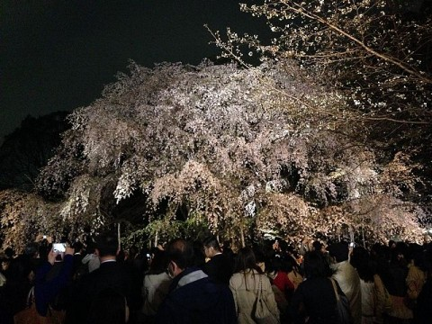ライトアップされたしだれ桜は見事