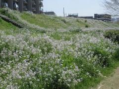 土手一面に白い花