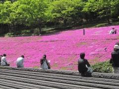 綺麗に咲いたシバザクラ