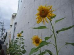 堂々と咲くヒマワリの花