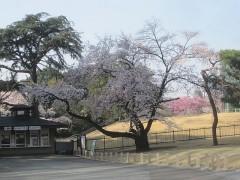 新宿御苑のなかの桜は満開
