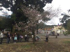 この時期に桜?