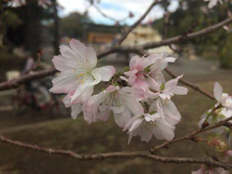 十月桜というのだそう