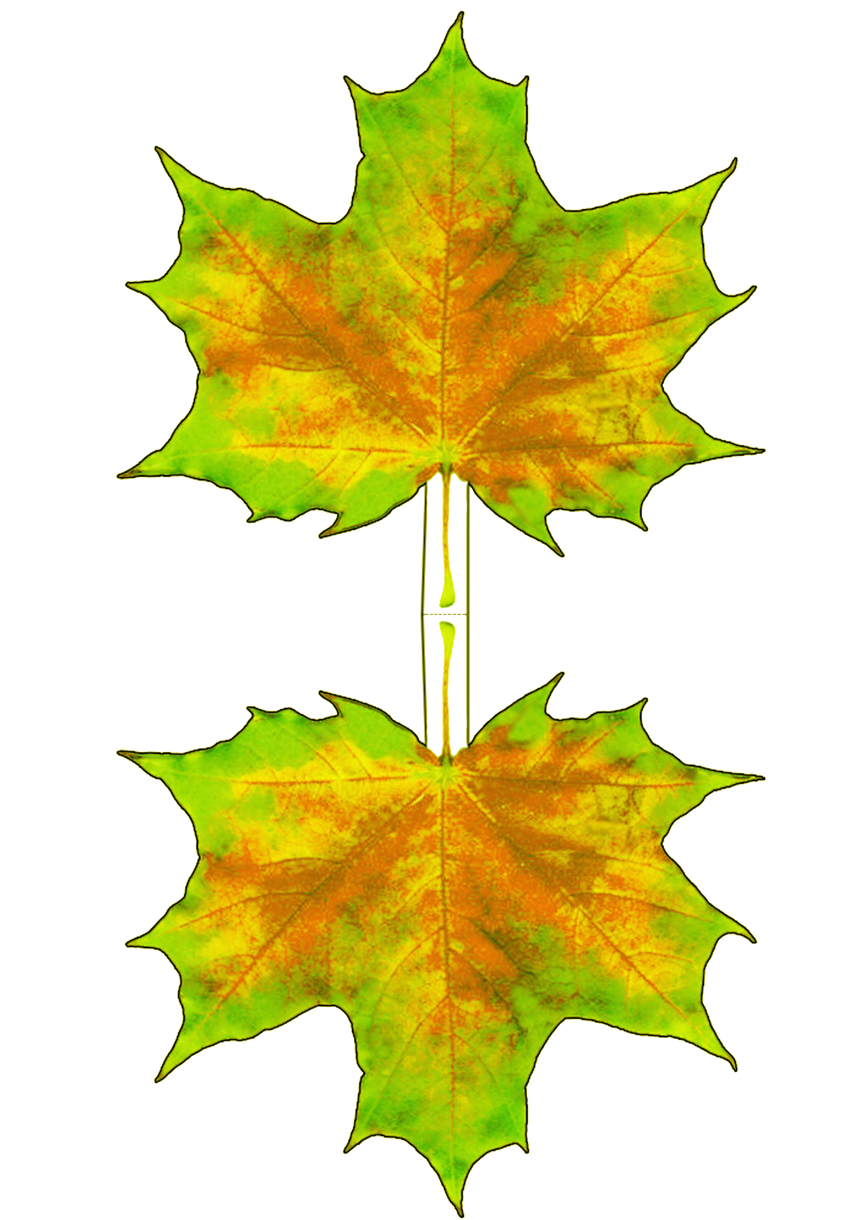 Yellowing Autumn Maple Leaf Decoration